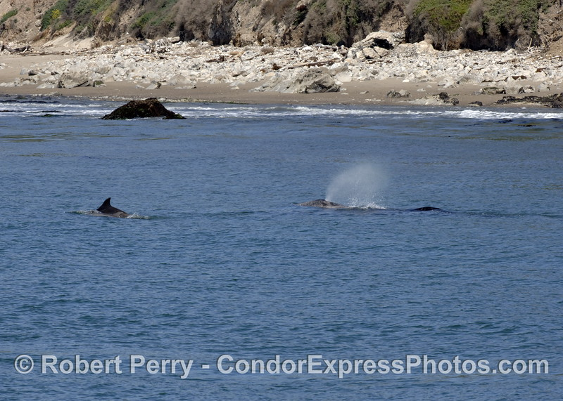 Gray whale and bottlenose dolphin in the surfline - Santa Barbara coast