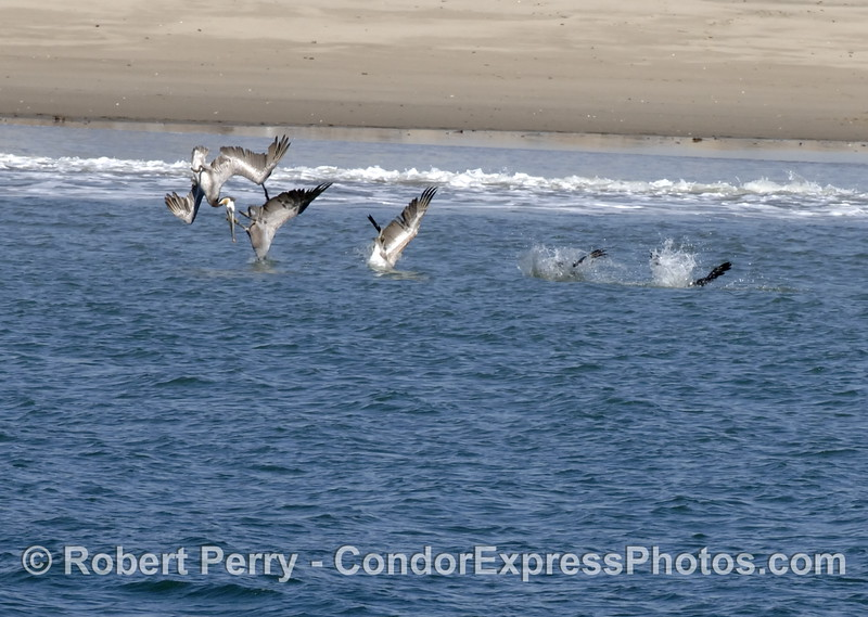 Brown pelican crash diving sequence - Santa Barbara sand spit
