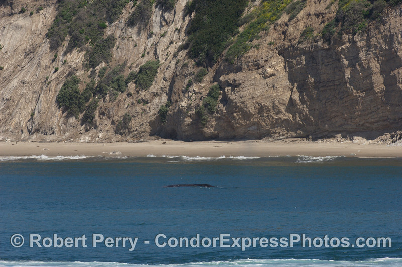 Gray whale very close to shore