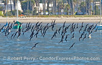 A flock of black skimmers turn in unison across the east beach anchorage near Stern's Wharf Santa Barbara