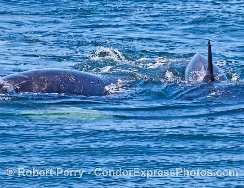 """Numerous killer whale """"rake"""" tooth marks are now visible on gray whale's back"""