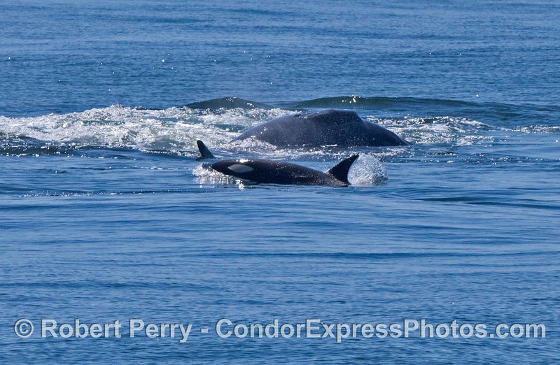 Gray whale calf on its side with killer whales in front