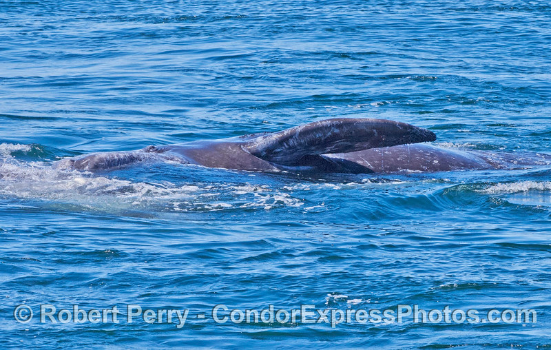 Gray whale calf on its side with eyeball visible and left pectoral fin in the air