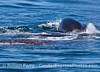 Gray whale mother and calf side by side in front as a large killer whale surfaces in back