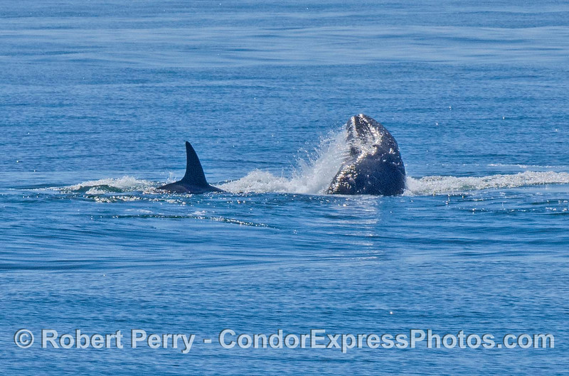Gray whale calf being rammed beneath the water by killer whales