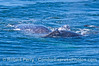 Gray whale calf on top of mother
