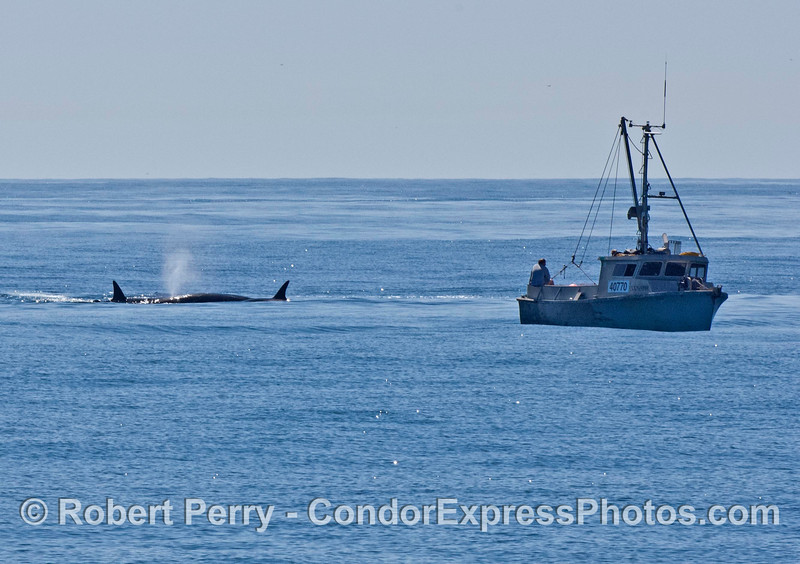 The scene as we first found it.  A small fishing vessel was drifting nearby and enjoying the show.