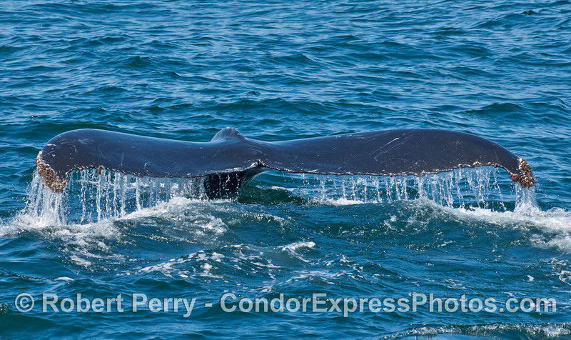 Tail flukes waterfall - a humpback whale