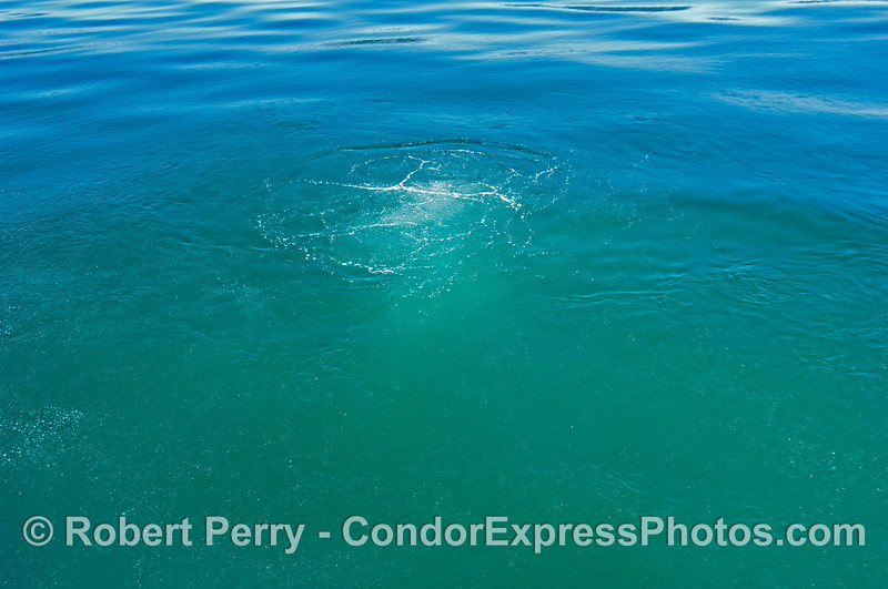 Methane bubbles rise from the ocean floor at one of many natural gas seeps