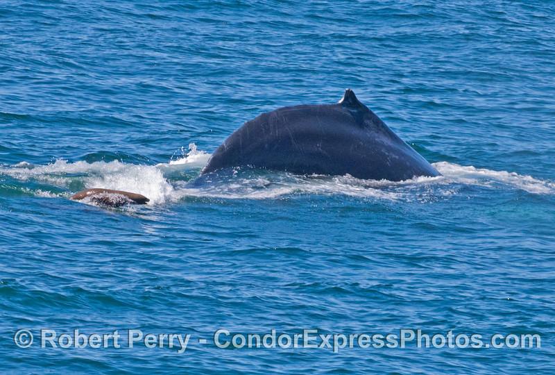 A pesky California sea lion rides alonside a large humpback whale