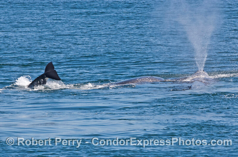 Killer whale, gray whale calf, gray whale mother