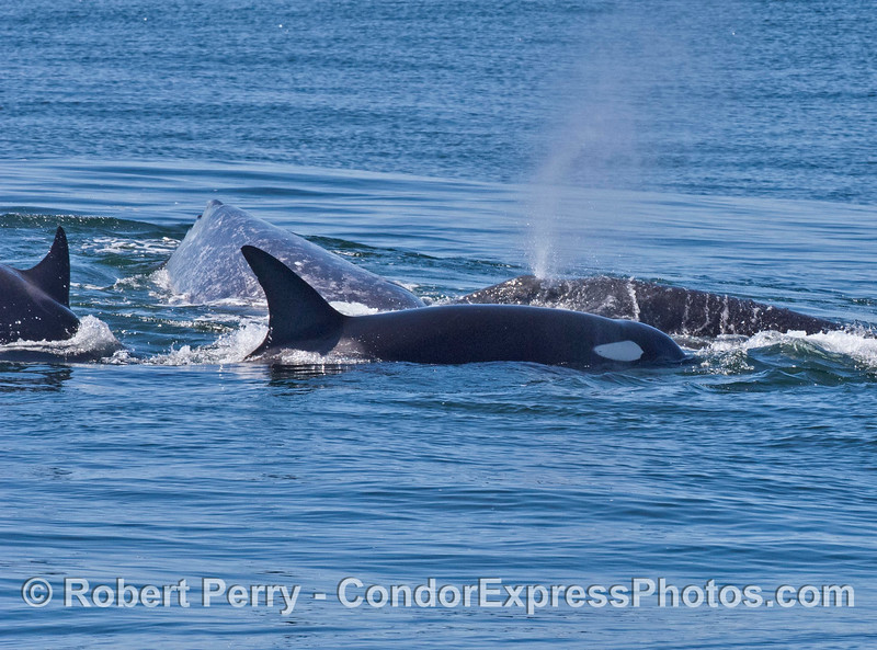 Killer whales with gray whale calf and mother
