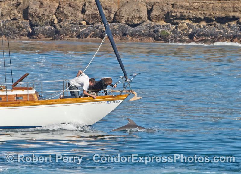 Coastal bottlenose dolphin rides the bow of a sailboat