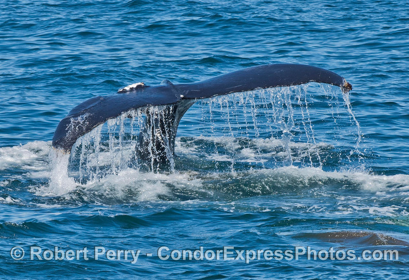 Humpback whale with wounded tail