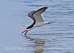 A black skimmer is photographed skimming