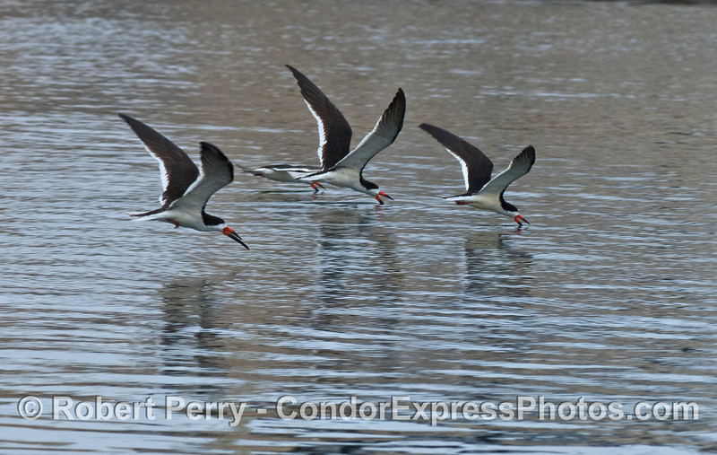 Three black skimmers patrol the waters inside Santa Barbara Harbor