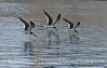 Three black skimmers patrol the waters inside Santa Barbara Harbor