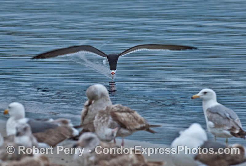 A black skimmer leaves a wake behind it's long lower beak in shallow water