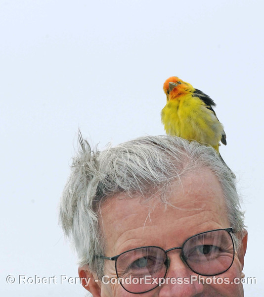 Our friend Mark is seen with a Western Tanager, a terrestrial bird that got lost at sea