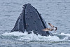 A hungry gull stays close to a lunge feeding Humpback whale