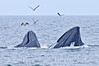 Humpback whales lunge feed on the surface