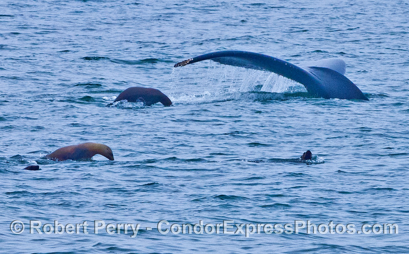 Humpback whale and a cadre of sea lions