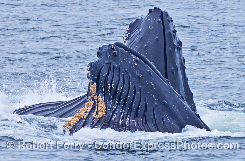 Two Humpback whales lunge feed side by side