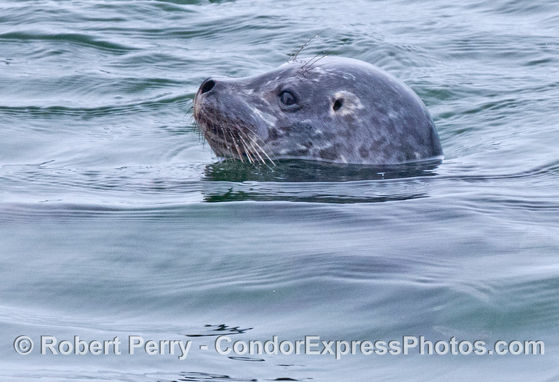 A very friendly, close approach by a Pacific harbor seal