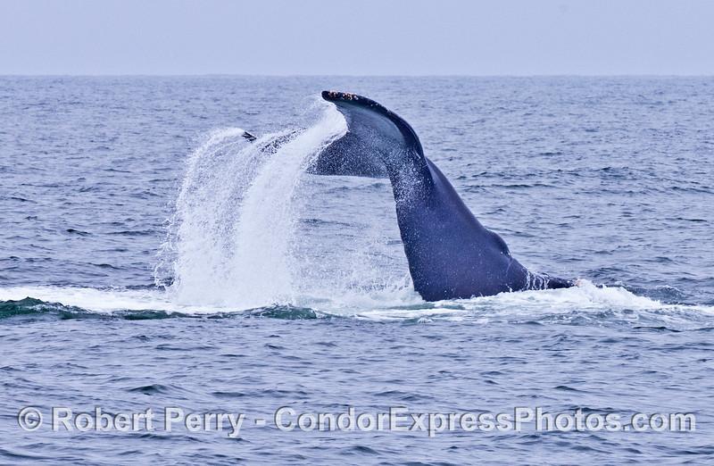 Humpback whale slaps its tail