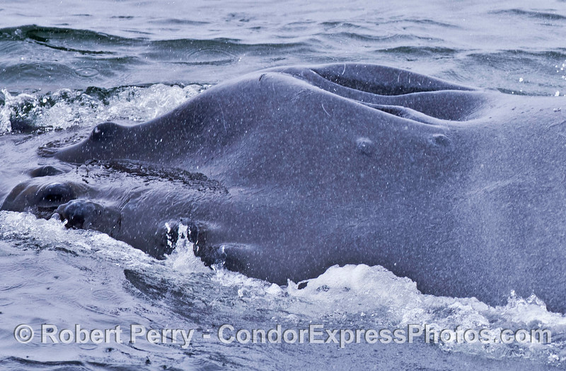Extreme close up view of the splashguard and blowholes of a humpback whale