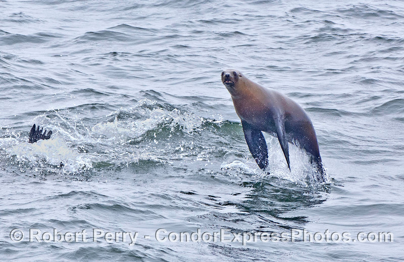 California sea lions seem to have the ability to leap straight up out of the water