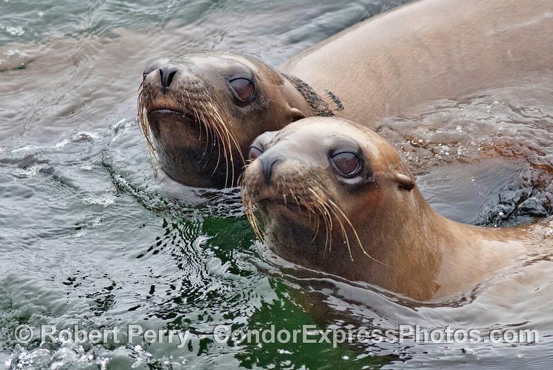 Two California sea lion buddies