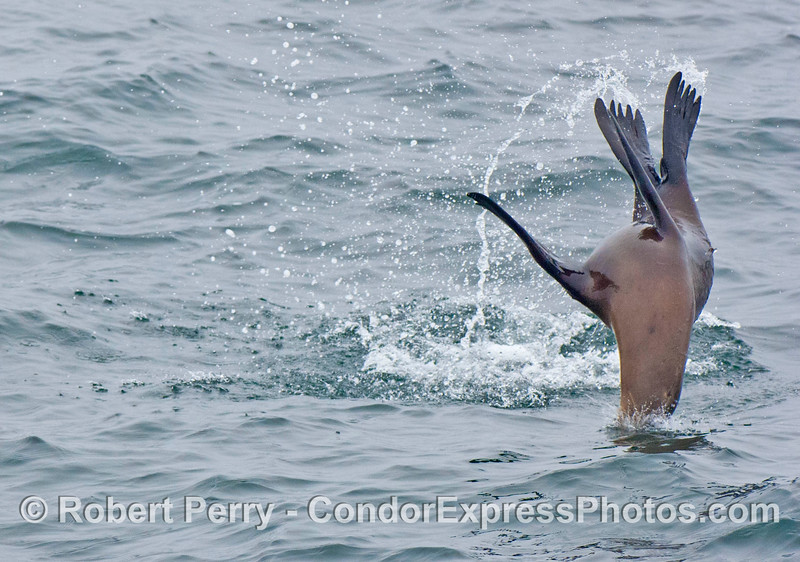 A California sea lion is captured mid air horsing around