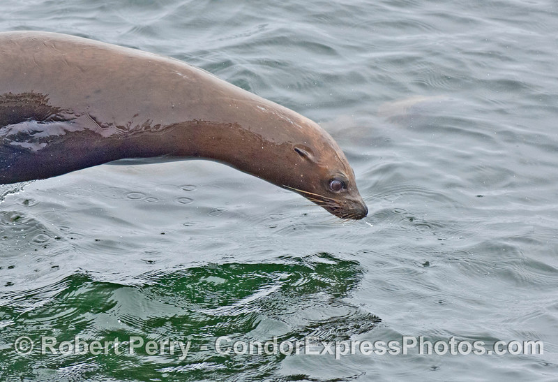 """A young California sea lion looks fierce as it """"porpoises"""" through the water"""