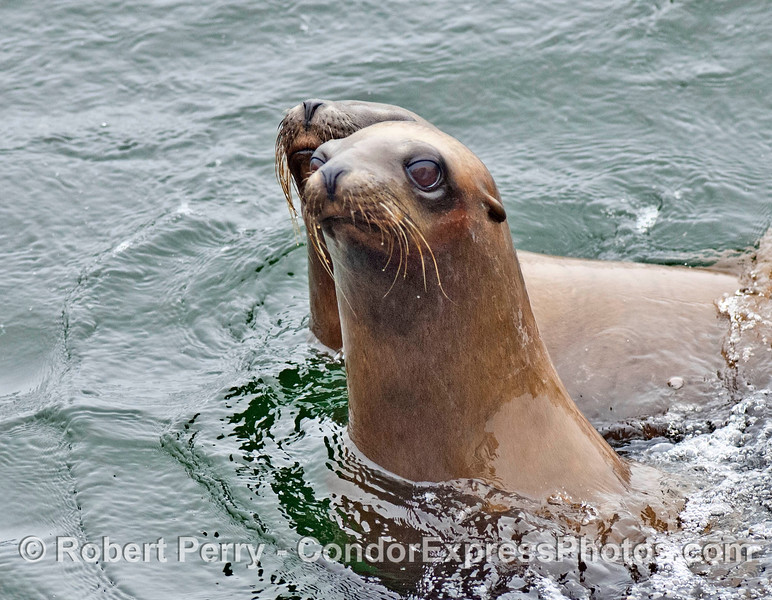 Two California sea lion poke their long necks out of the wter to look around
