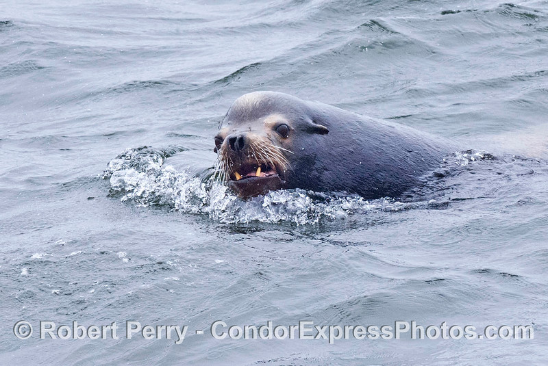A young male California sea lion smiles for the camera