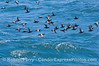 A flock of pigeon guillemots in flight