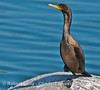 Brand'ts cormorant basks in the sun
