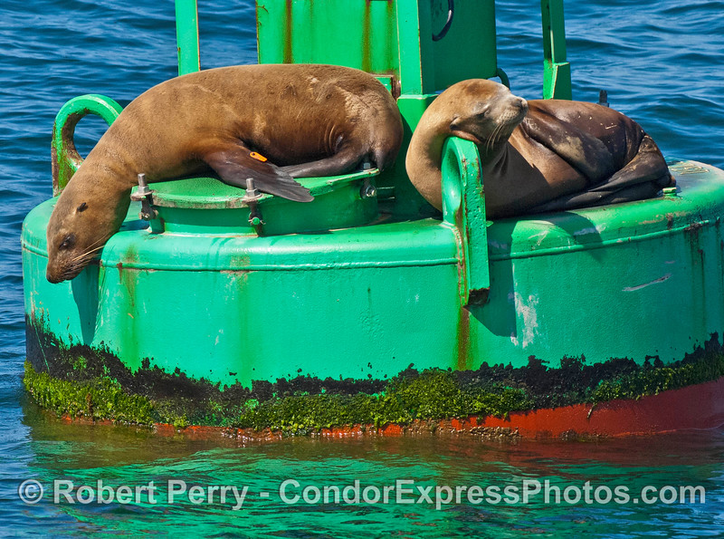 A tagged sea lion rests with others on the Santa Barbara Harbor entrance buoy