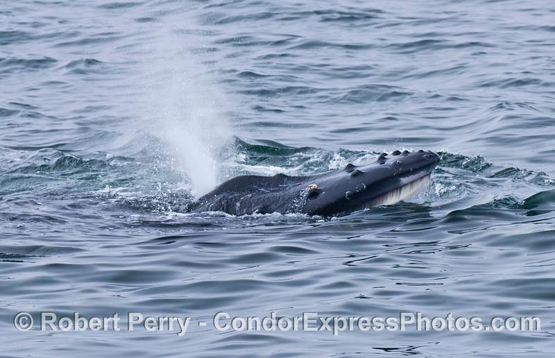 Megaptera novaeangliae baleen 2006 07-20 SB Channel--442