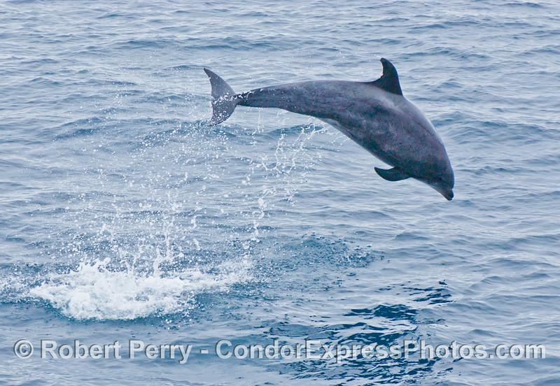 Tursiops truncatus Offshore Bottlenose Dolphin 2006 07-29 SB Channel--060