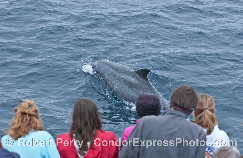 Tursiops truncatus Offshore Bottlenose Dolphin w people observers 2006 07-29 SB Channel--010
