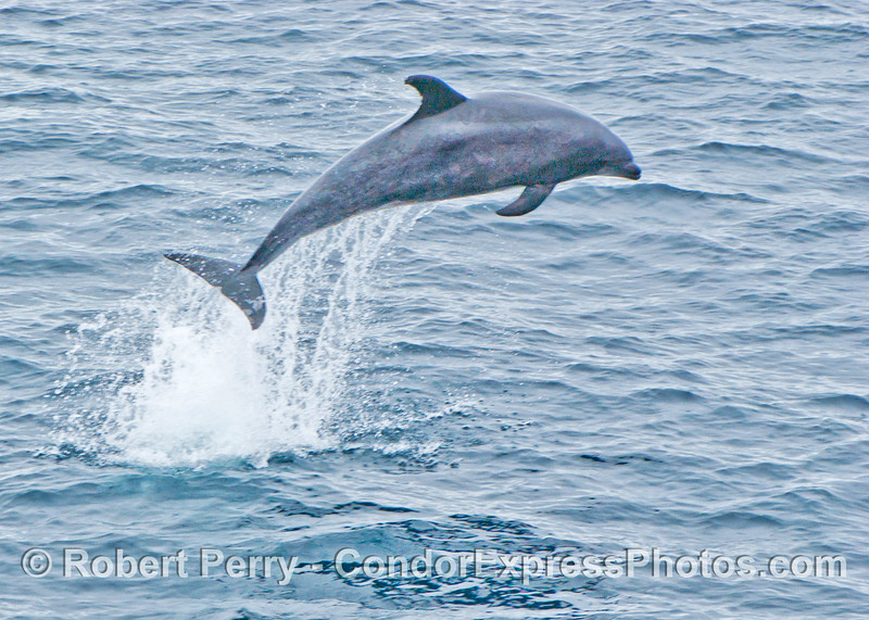 Tursiops truncatus Offshore Bottlenose Dolphin 2006 07-29 SB Channel--059