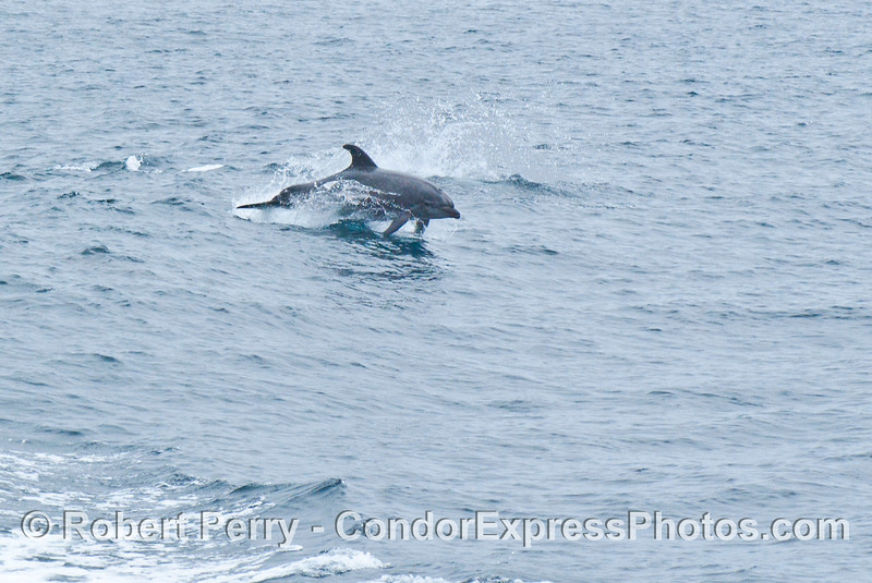 Tursiops truncatus Offshore Bottlenose Dolphin 2006 07-29 SB Channel--091
