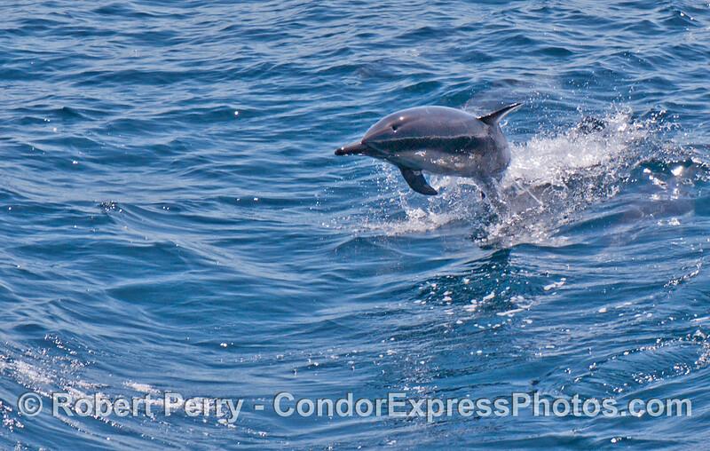 Delphinus capensis Long beak common dolphin 2006 07-29 SB Channel--1005