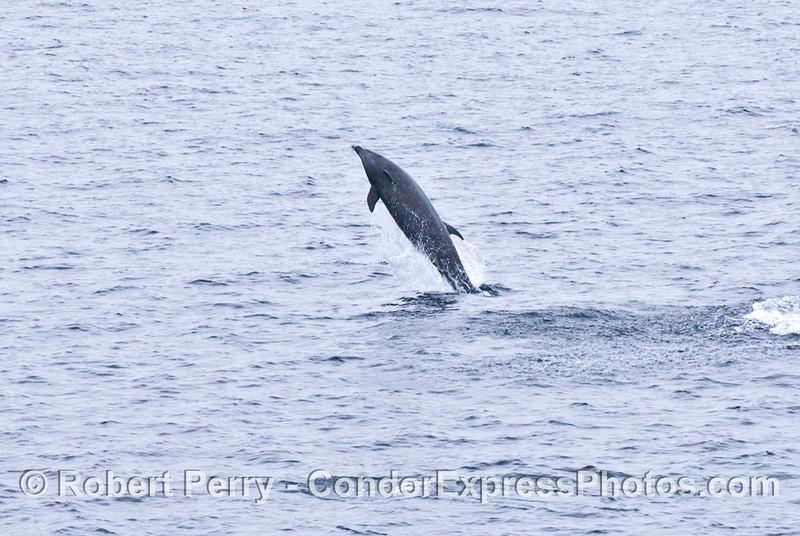 Tursiops truncatus Offshore Bottlenose Dolphin 2006 07-29 SB Channel--055