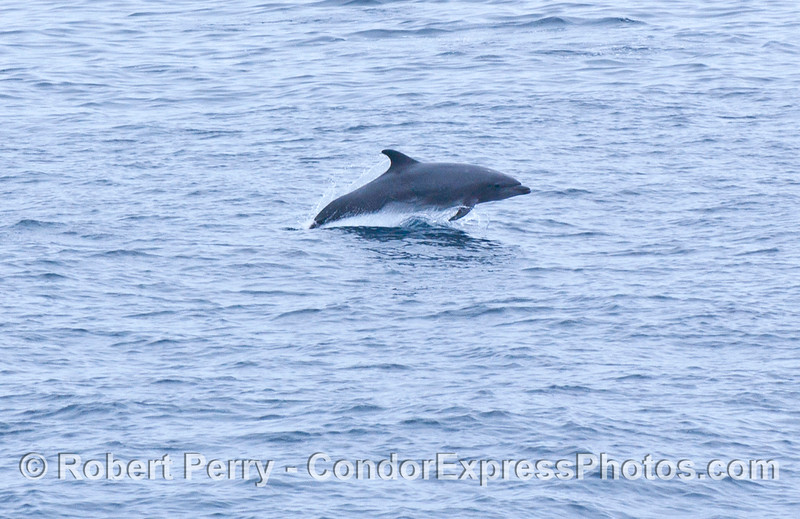 Tursiops truncatus Offshore Bottlenose Dolphin 2006 07-29 SB Channel--082