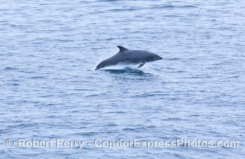 Tursiops truncatus Offshore Bottlenose Dolphin 2006 07-29 SB Channel--082