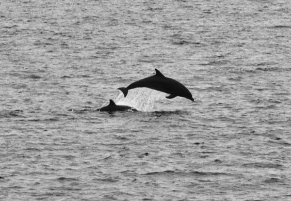 Tursiops truncatus Offshore Bottlenose Dolphin 2006 07-29 SB Channel--047