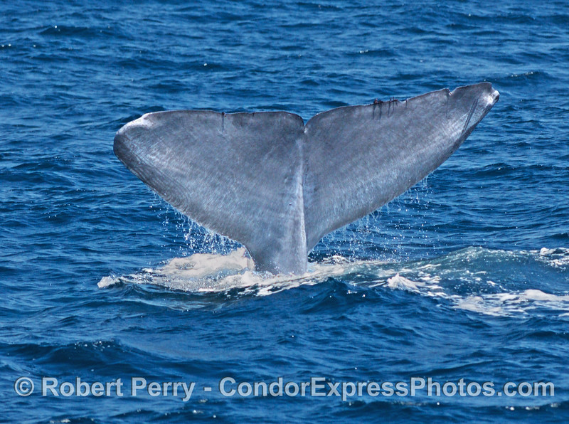 Balaenoptera musculus Blue Whale 2006 08-02 SB Channel--2023